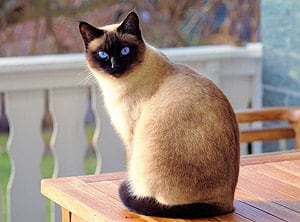 cool siamese cat