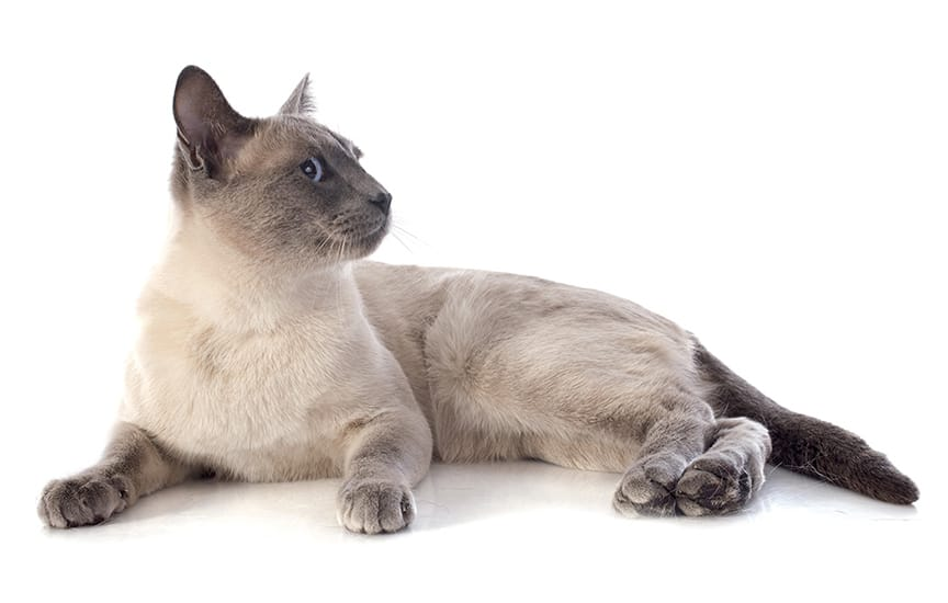 Top burmese cat names