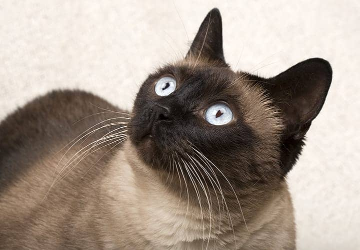 Siamese cat names 55 awesome names for your cat