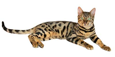 bengal-cat-names-sm
